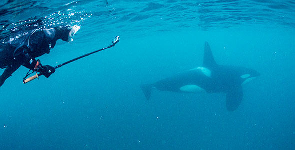 A snorkeler under the water with an orca swimming past