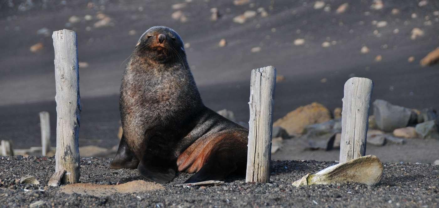 Fur Seal by Mathieu Meur