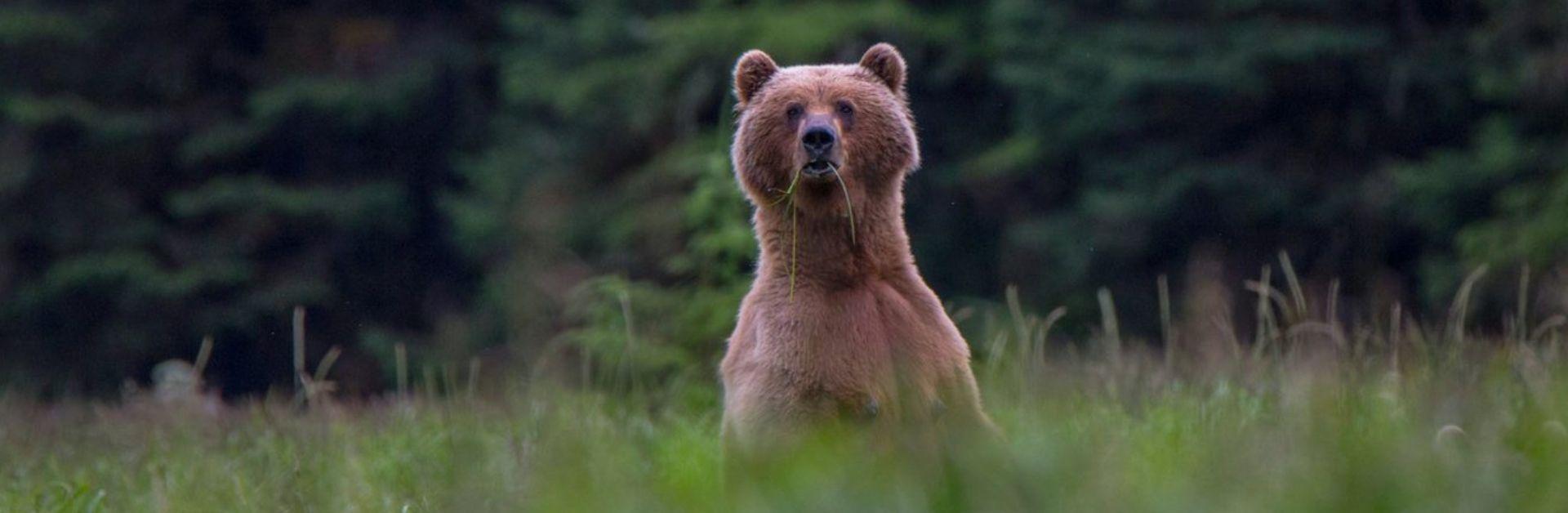 Alaska bear