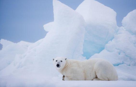 Svalbard Polarbear