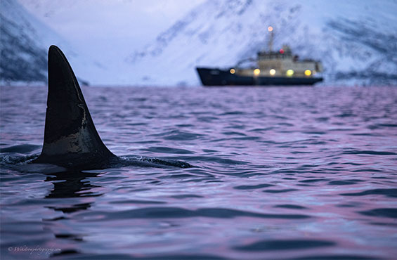 Whale watching regulations in Norway