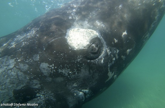 Snorkeling with Southern Right Whales